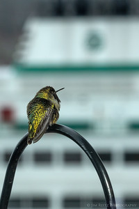 A very cold hummingbird waiting for his ferry this morning.