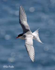 Antarctic Tern Antarctic Tern flying over New Zealand's subantarctic Campbell Island