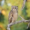 Milchuhu, Bubo lacteus, Blassuhu, Krüger Nationalpark, Galeriewald am Shingwedzi, Verreaux's Eagle-Owl, Kruger National Park, Südafrika, South Africa