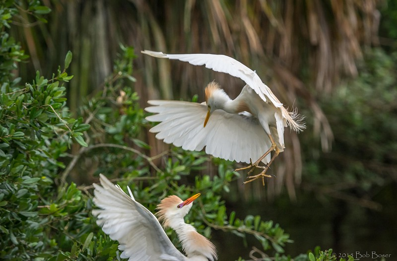 Honey...I'm Home (Cattle Egrets)
