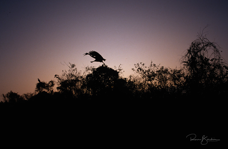 Egret at sunset, Everglades