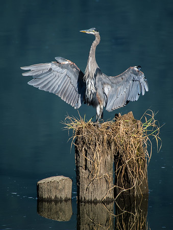 Great Blue Heron basking in the morning sun in Pitt Meadows, BC.  26th August, 2013. Photo by: Stephen Hindley ©