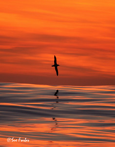 Albatross at sunset Red sky of sunset reflecting in the Southern Ocean as an Albatross flew by