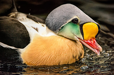 King Eider headshot