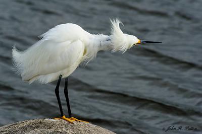 Snowy Egret ruffling it feathers