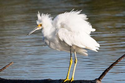 Snowy Egret-3075