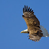 Bald Eagle Flight Dorsal View