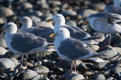 Western Gulls-7089