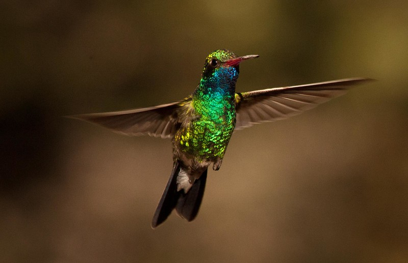 Male Broad-bill hummingbird, Southern Arizona