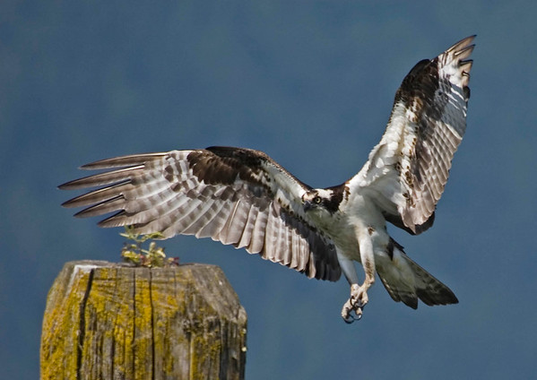 Osprey - Pitt Lake, BC