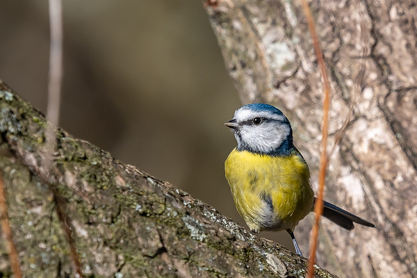 Blue Tit on Ditchling Common