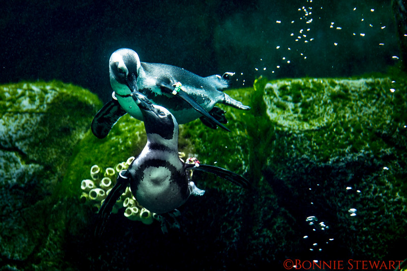 African Penguins sharing a moment