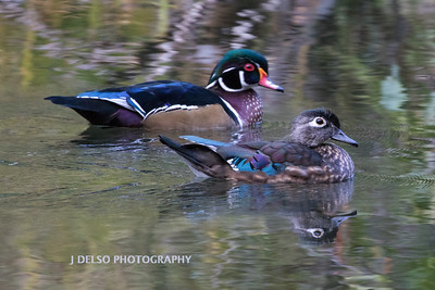 Wood Ducks Fall 2017-3