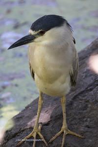 Black-crowned Night-Heron-7568