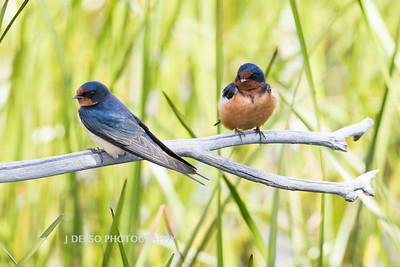 Barn Swallows-6879