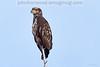 Golden Eagle near Libby, Montana