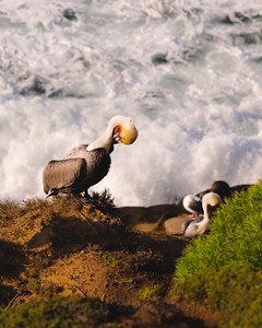 Californian Brown Pelicans nestled from the ocean waves on a rock