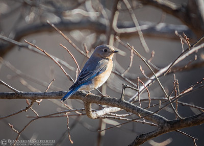 Eastern Bluebird IV