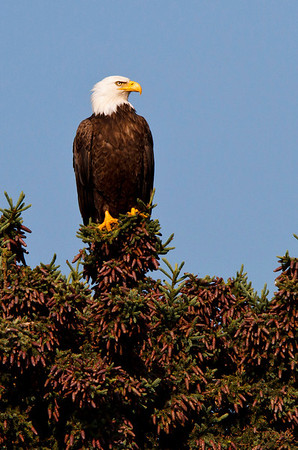 This bald eagle provided a nice change of pace from the bears.  As an added bonus, the sky was even blue!