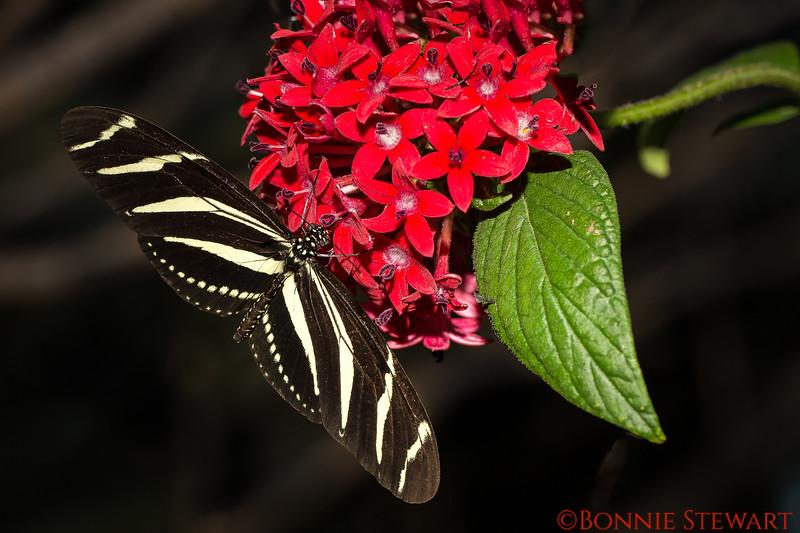 Zebra Long-winged Butterfly