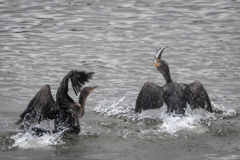 Fighting Cormorants