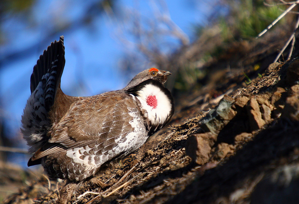 A male blue grouse displays his colorful neck skin to attract a female