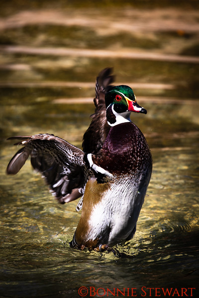 A very beautiful African Pygmy Goose playing in the water