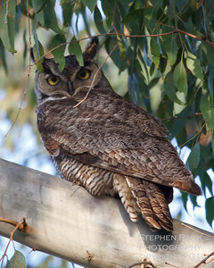 Horned Owl, Skinner Lake, CA