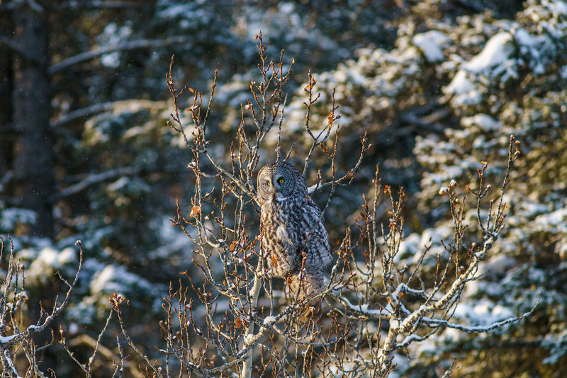 Great Gray Owl, Banff National Park
