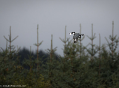 Belted Kingfisher with a snack.