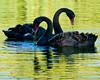 Black Swans, St James's Park, London