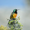 Goldbrust-Nektarvogel, Orange-breasted Sunbird, Anthobaphes violacea, Table Mountain, Cape Town, South Africa, Tafelberg, Kapstadt, Südafrika