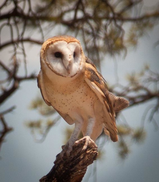 A cute barn owl at Bearizona.  I could not take her photo the last time I was there because she had just eaten, but not finished, a fat lizard.