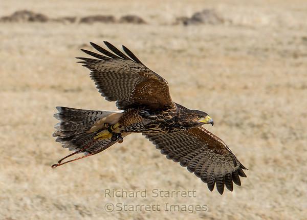 Harris hawk, a local falconer's bird.
