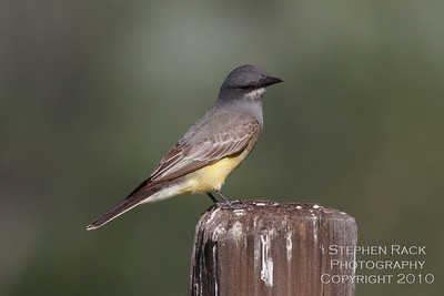 Western Kingbird, Skinner Lake, CA