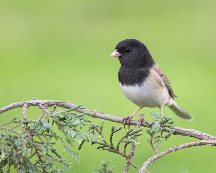 Dark-eyed Junco on a Branch