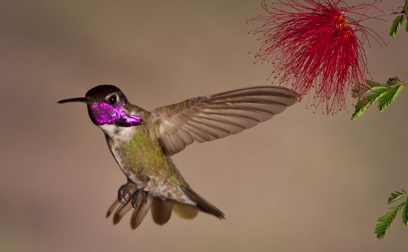 A thirsty male Costa's hummingbird, Phoenix area.