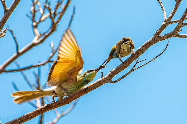 Little Green Bee-Eater sharing one of Annie's bees.  Photo by: Stephen Hindley/HIVE Photography©
