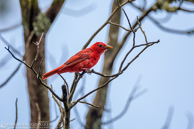 Summer Tanager 6 (male)
