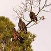 Eagles perched Waterloo, Al 2010.