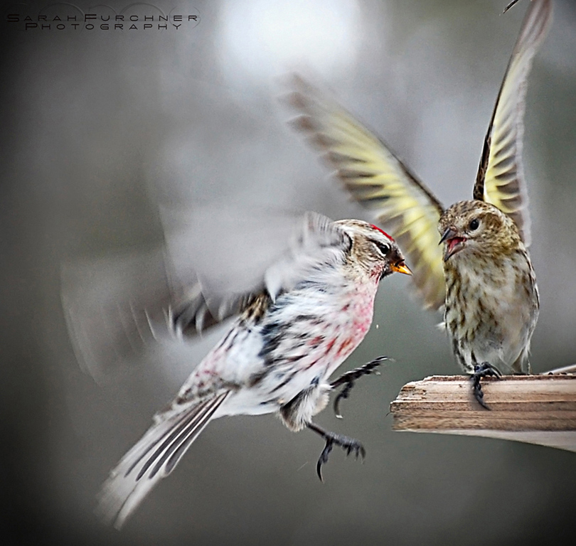 "This picture was a finalsit in the Canadian Geographic Wildlife Photography of the Year 2009 contest, taking honourable mention in the ""Birds"" category.  Common Redpoll <i>Carduelis flammea</i>"