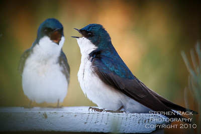 Tree Swallows, San Joaquin Wildlife Reserve, CA