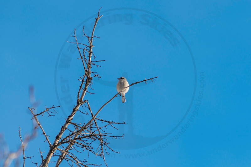 Northern Shrike, Banff National Park