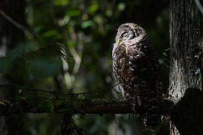 Barred Owls (Strix varia)