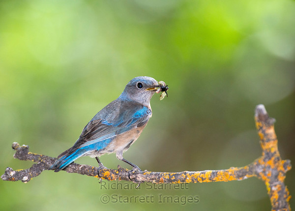 Western Bluebird (female) carrying a bug for her young.