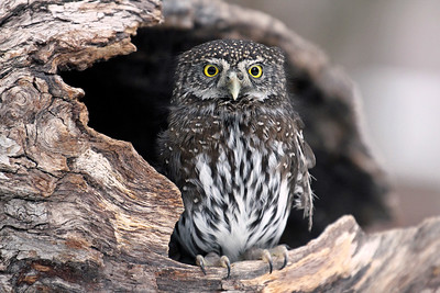 """Tiny Northern Pygmy Owl"""