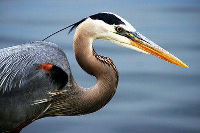 """Great Blue Heron"""