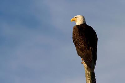 This bald eagle was perched on the shoreline near Seward, Alaska