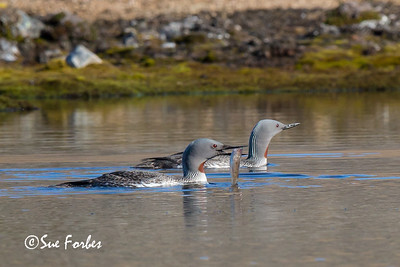 Ny London, Red-throated loon