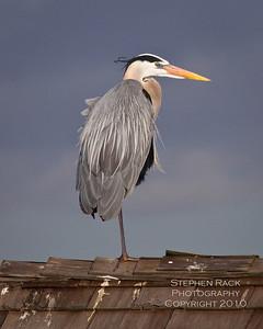 Blue Heron, Bolsa Chica Wildlife Reserve.